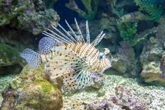 Common  Lionfish or Devil firefish Royalty Free Stock Image