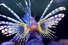 Common Lionfish or Devil Firefish Stock Images