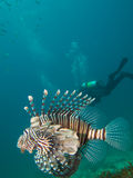 Common lionfish with diver in the background Royalty Free Stock Images