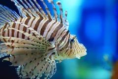 Common lionfish Stock Image