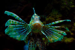 Common Lionfish Or Devil Firefish (Pterois Miles) Royalty Free Stock Images