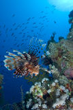 Common lionfish (Pterois miles) Stock Images
