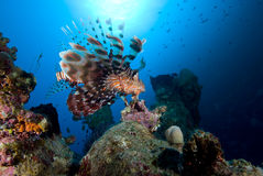 Common lionfish (Pterois miles) Stock Image