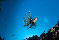 Common lionfish (Pterois miles) Stock Photography