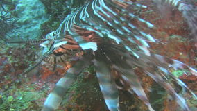 Common Lionfish, Pterois miles on a reef in the Philippines. Common Lionfish swimming at a artificial reef at the island of Oriental Mindoro in the Philippines stock video footage