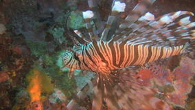 Common Lionfish, Pterois miles on a reef in the Philippines. Common Lionfish swimming at a artificial reef at the island of Oriental Mindoro in the Philippines stock footage