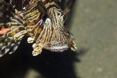 Common lionfish (pterois miles) Stock Photos