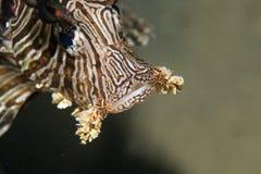 Common lionfish (pterois miles) Stock Photo