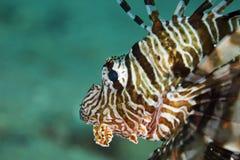 Common lionfish (pterois miles) Royalty Free Stock Photos
