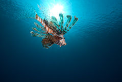 Common Lionfish (Pterois Miles) And Sun Royalty Free Stock Photos