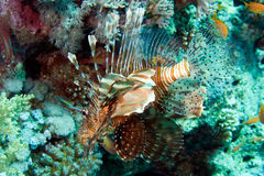 Common lionfish, Pterois volitans Stock Images
