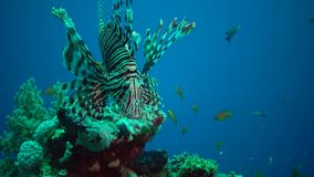 Common lionfish Pterois volitans, Fish hunt and swim over a coral reef stock video footage