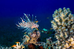 Common Lionfish (Pterois volitans) swims under a hard coral on a Royalty Free Stock Photos