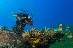 Common Lionfish (Pterois volitans) swims under a hard coral on a Stock Image