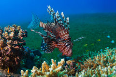 Common Lionfish (Pterois volitans) swims under a hard coral on a Stock Photos