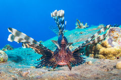 Common Lionfish (Pterois volitans) swims under a hard coral on a Stock Images