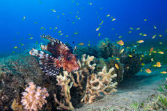 Common Lionfish (Pterois volitans) swims under a hard coral on a Royalty Free Stock Photography