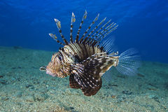 Common Lionfish (Pterois volitans) Underwater photo. Royalty Free Stock Photography