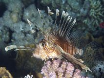Common lionfish Stock Photography