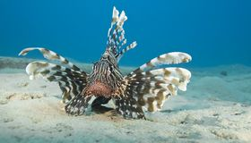 Common lionfish on the sandy seabed. Stock Image