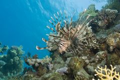 Common Lionfish showing-off its ornate fins. Stock Photography