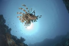 Common Lionfish and sun Royalty Free Stock Photography