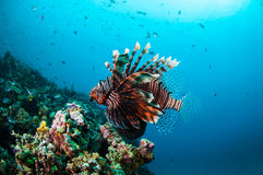 Common Lionfish swimming above coral reefs in Gili, Lombok, Nusa Tenggara Barat, Indonesia underwater photo Stock Photo