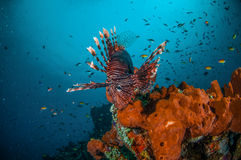 Common Lionfish swimming above sponges in Gili, Lombok, Nusa Tenggara Barat, Indonesia underwater photo Stock Image