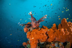 Common Lionfish swimming above sponges in Gili, Lombok, Nusa Tenggara Barat, Indonesia underwater photo Stock Photography