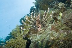 Common Lionfish on a tropical coral reef. Royalty Free Stock Photography