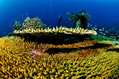 Common lionfish and various hard coral reefs in Banda, Indonesia underwater photo Stock Photography