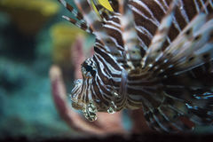 Common lionfish yawn Pterois miles Royalty Free Stock Photo