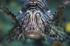 Common lionfish yawn Pterois miles Stock Image