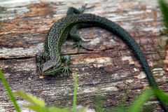 Common Lizard. A green common resting on a log Royalty Free Stock Photography