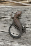 Common Lizard. Juvenile Common Lizard basking on wood Royalty Free Stock Photo