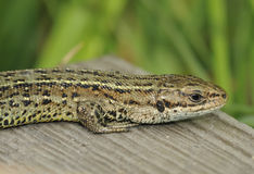 Common Lizard Stock Image