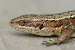 Common Lizard Royalty Free Stock Photos
