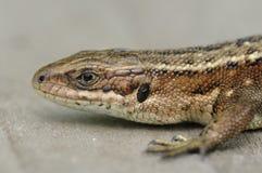 Common Lizard Royalty Free Stock Photos