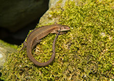 Common Lizard Stock Images