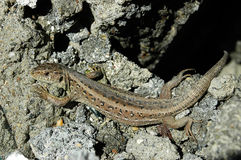 Common lizard. Experiment Stock Photos