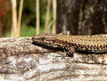 Common Lizard Royalty Free Stock Photo