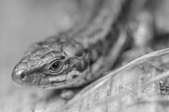 Common Lizard Royalty Free Stock Image
