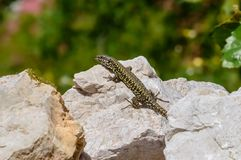 Common Lizard with black and yellow pattern on a rock. Common Wall Lizard with black and yellow pattern enjoys sun on a rock stone. Close up on natural stock images