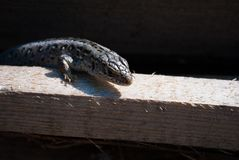 Common lizard on a board. In the sunshine stock images