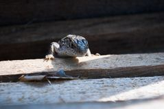 Common lizard on a board. In the sunshine royalty free stock image