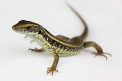 Lizard closeup Royalty Free Stock Photography