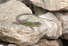 Common lizard Royalty Free Stock Images