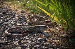 Common Lizard Stock Photography