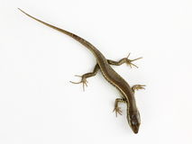 Common lizard isolated Royalty Free Stock Photos