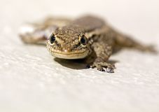 Common Lizard (Juvenile). Macro (Shallow Depth of Field), climbing a wall Royalty Free Stock Images